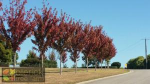 Acer Autumn Blaze avenue