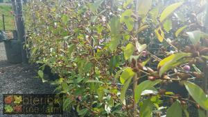Magnolia Fairy Blush 33cm