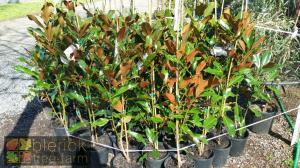 Magnolia Kay Parris 20cm