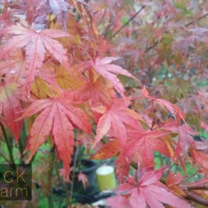 Acer (Maple)