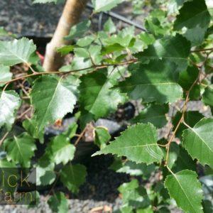 Betula (Birch)