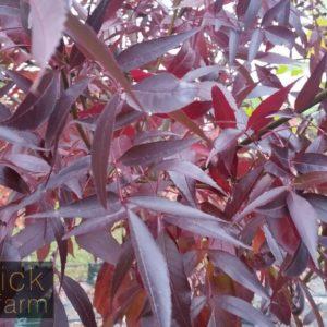 Purple Autumn Foliage