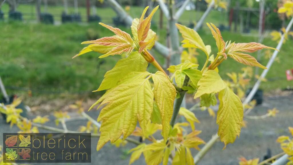 Acer Negundo Kellys Gold Blerick Tree Farm