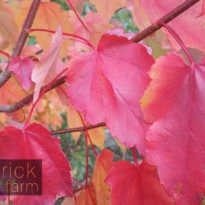 Close up October Glory autumn foliage