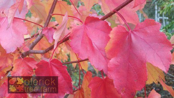 Close up October Glory autumn foliage