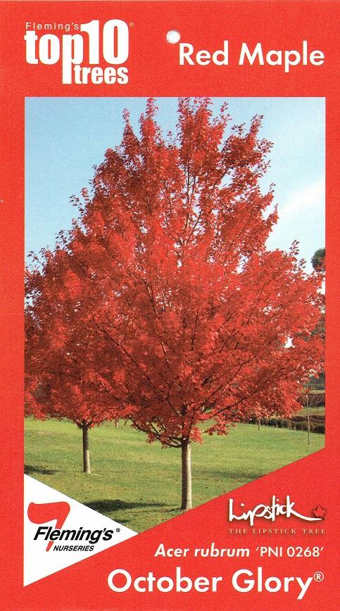 Lipstick Maple October Glory At Blerick Tree Farm Advanced Trees