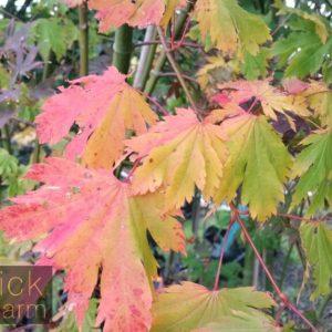 Japanese Maple Archives Blerick Tree Farm