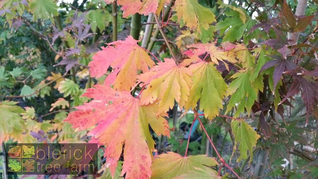 Acer Japonicum Vitifolium Full Moon Maple