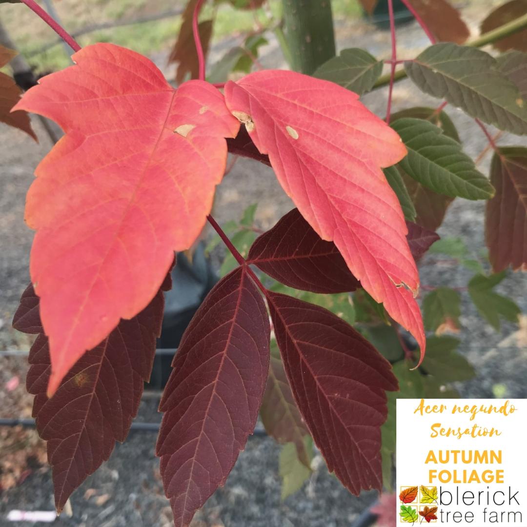 Acer Negundo Sensation Blerick Tree Farm