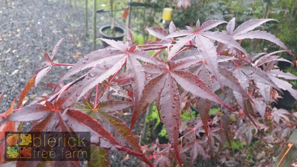 Acer Palmatum Atropurpureum Purple Leaf Japanese Maple Blerick