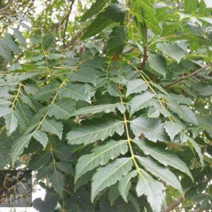 Koelreuteria (Raintree)