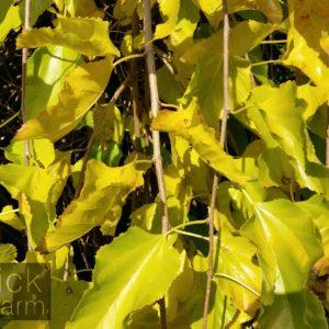Morus (Mulberry)