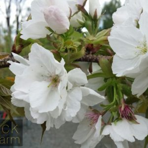 Prunus (Flowering Almond, Apricot, Cherry, Peach, Plum)