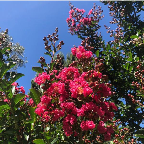 Tuscarora Crepe Myrtle Flower