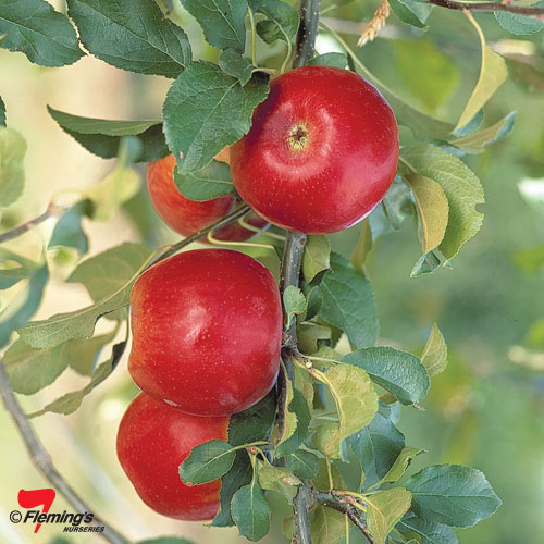 crimson crisp apple tree