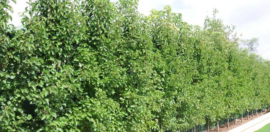 winter glow ornamental pear evergreen available from