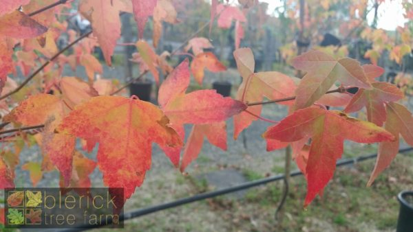 Trident Maple Autumn foliage