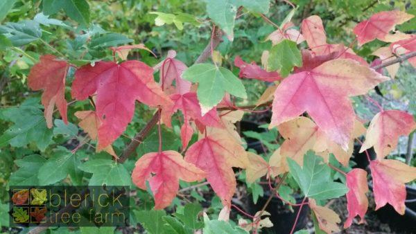 Trident Maple Early autumn foliage