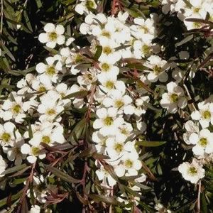 Leptospermum (Tea Tree)