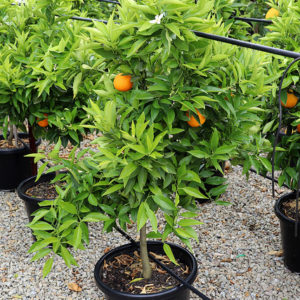 Mediterranean_sweet_orange_tree