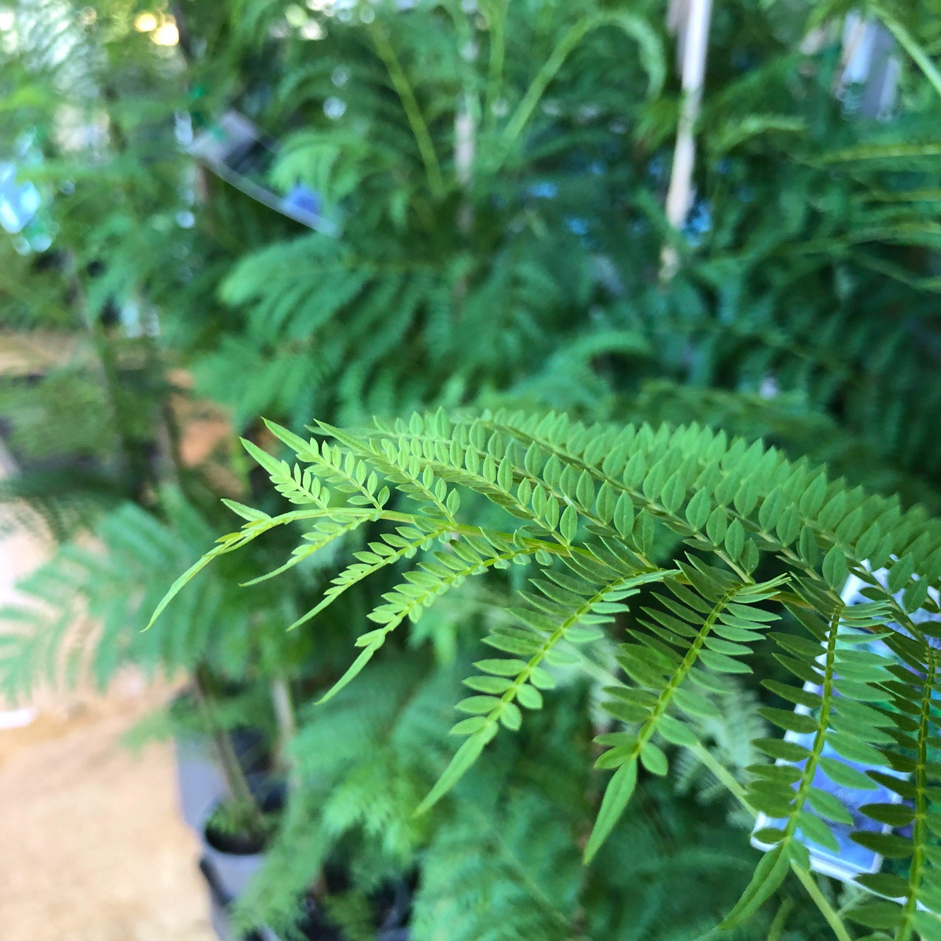 Jacaranda Tree | Blerick Tree Farm | Buy trees direct from ...