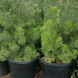 Adenanthos (Woolly Bush)