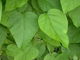 Catalpa (Indian Bean)