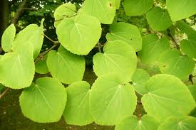 Cercidiphyllum (Katsura)