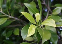 Ficus (Fig)