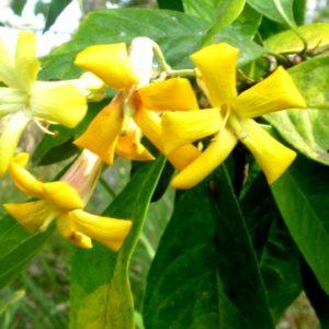 Hymenosporum (Native Frangipani)
