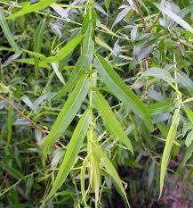 Salix (Willow)
