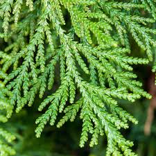 Thuja (Conifer)