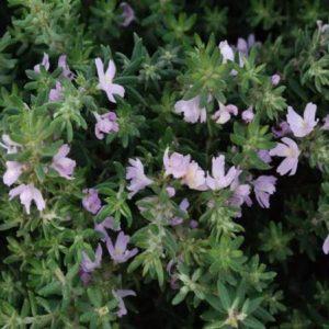 Westringia (Native Rosemary)