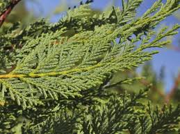 Cupressocyparis (Cypress)