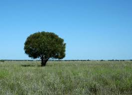 Paddock Trees