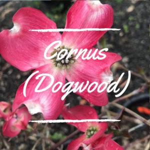 Cornus (Dogwood)