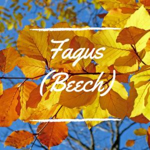 Fagus (Beech)
