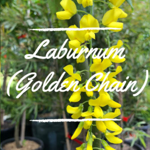Laburnum (Golden Chain)