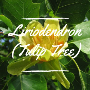 Liriodendron (Tulip Tree)