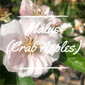 Malus (Crab Apple)