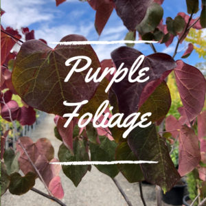 Purple Autumn Foliage